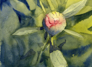 featured image for how to paint a peony flower bud in watercolor
