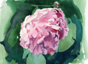 watercolor painting of a pink peony